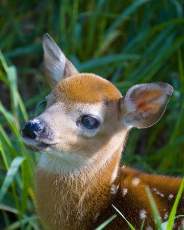 Deer Fawn looking Up photo