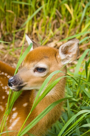 orphan: Whitetail Deer Fawn