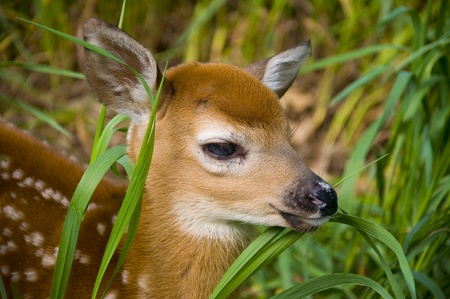 Whitetail Deer fawn looking through tall grass Stock Photo