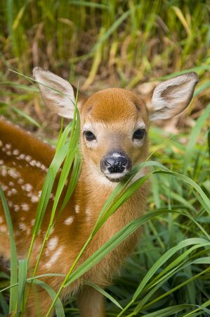 whitetail deer: Whitetail Deer fawn in tall grass Stock Photo