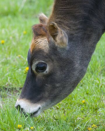dairy cow: Grazing Dairy Cow Stock Photo