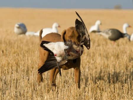 Dog Retrieving a Canada Goose photo