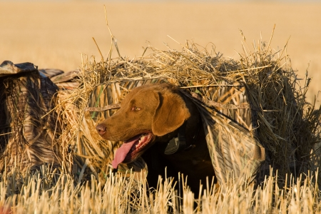 perro de caza: Perro de espera en la ciega Foto de archivo