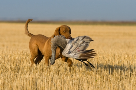 Dog retrieving a Sandhill Crane Stock Photo