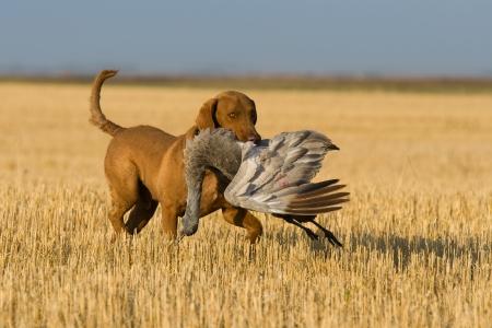 Dog retrieving a Sandhill Crane Standard-Bild