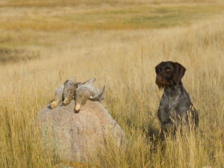 drahthaar: Dog with Sharptail Grouse Stock Photo