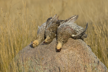 drahthaar: Harvested Sharptail Grouse on a Rock