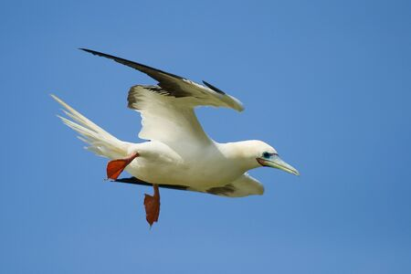 booby: Red Footed Booby