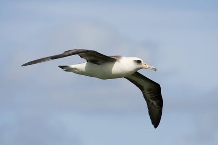 seabird: Laysan Albatross in Kauai Stock Photo