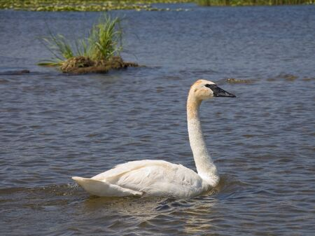 Swimming Trumpeter Swan photo