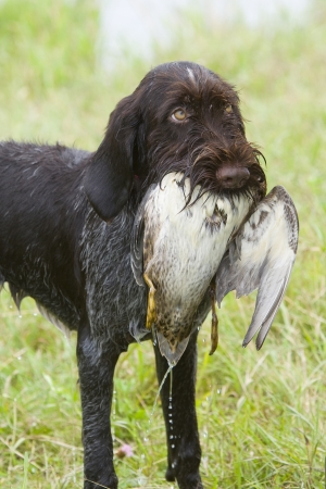 wirehaired: Hunting Dog with a Duck