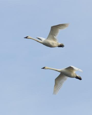 tundra swan: Vuelo del cisne del trompetista Par