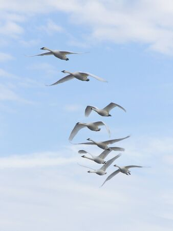 tundra swan: Flock Of Trumpeter Swans