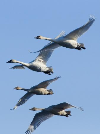 tundra swan: Bandada de cisnes