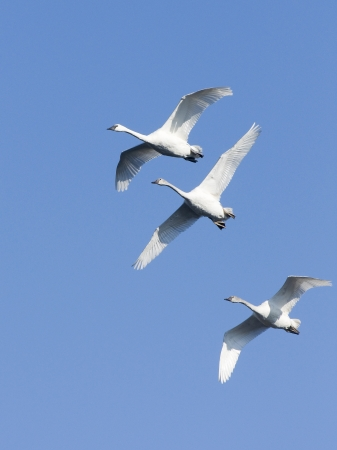 Swans in Flight Stock Photo - 14924888