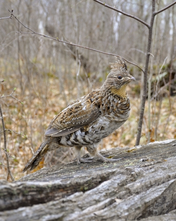 drumming: Ruffed Grouse on a log