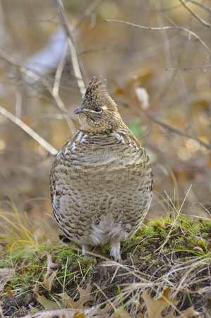 gamebird: Ruffed Grouse Perched on a log Stock Photo