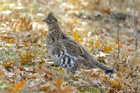 minnesota woods: Grouse in the fall woods
