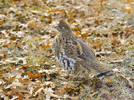 grouse: Ruffed Grouse in the Fall