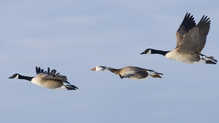 canada goose: Hybrid Canada Goose Stock Photo