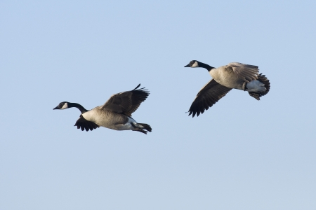 Canada Geese in Flight photo