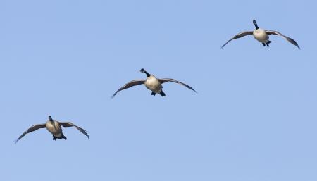 canada goose: Trio of Landing Geese