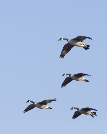canada goose: Flock of Geese ready to load