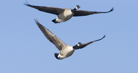 canada goose: Pair of Flying Geese