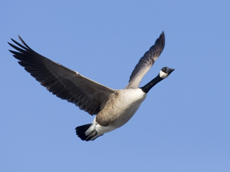 Flying Goose photo