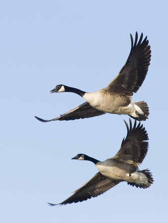 canada goose: Geese in Flight