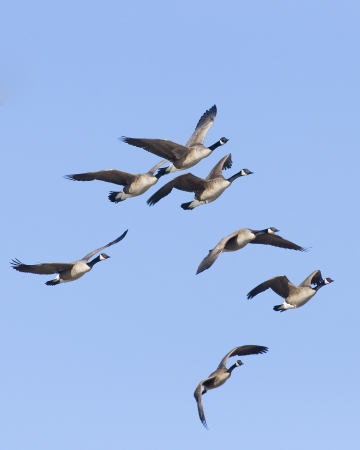 Flock of Canda Geese photo