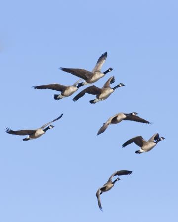Flock of Canda Geese