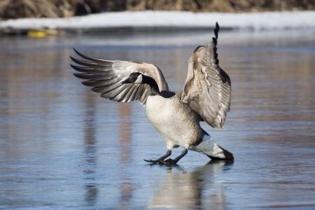 canada goose: Landing Goose