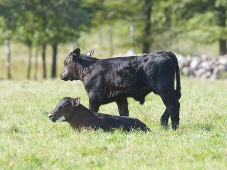 Black Angus Calves photo