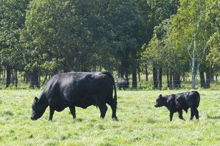 Black Angus Cow with Calf 版權商用圖片