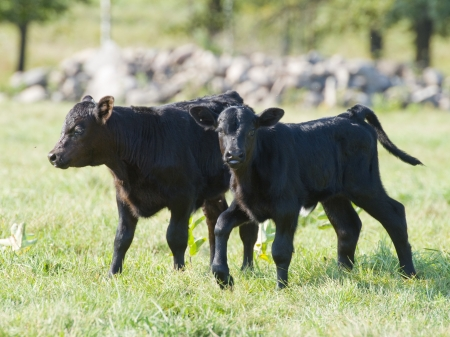 Black Angus Calves