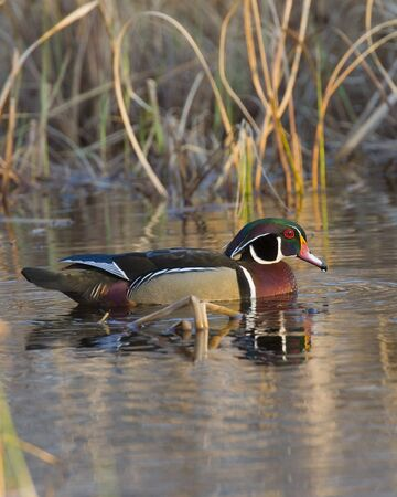 Swimming Wood Duck photo