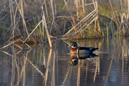 Lone Wood Duck Stock Photo