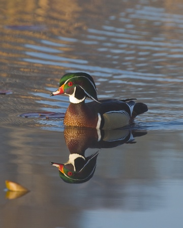 Wood Duck with it s crest up photo