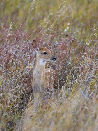 Deer Fawn photo