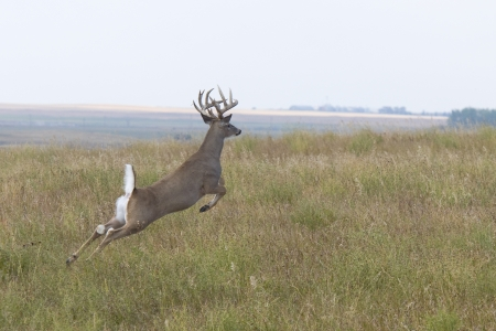 whitetail buck: Whitetail Deer
