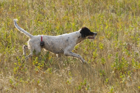 English Setter Stock Photo - 15362098