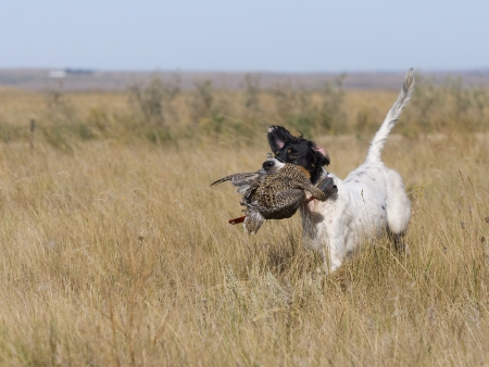 Hunting Dog with Sharptailed Grouse