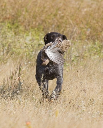 wirehair: Grouse Hunting