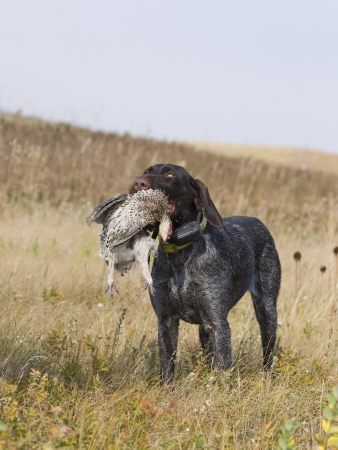 wirehair: Sharptailed Grouse with Hunting Dog