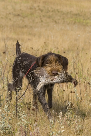 drahthaar: Drahthaar Hunting Dog with Sharptailed Grouse Stock Photo