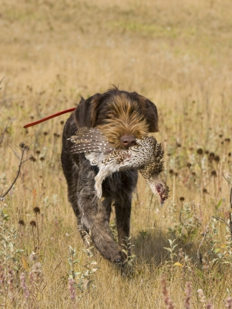 wirehair: Drahthaar Hunting Dog Stock Photo