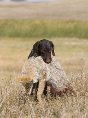 Drahthaar Hunting Dog with Coyote Stock Photo