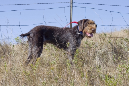 drahthaar: Drahthaar Hunting Dog Stock Photo