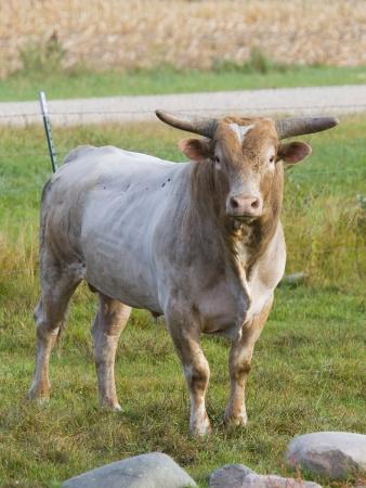 牧草地で大規模な牛 写真素材